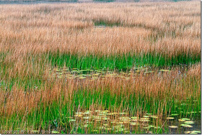 Acadia Reeds