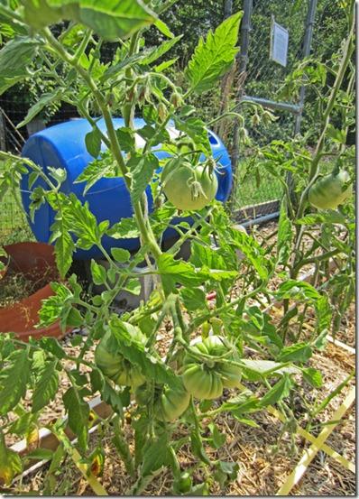 Big Rainbow tomato