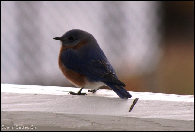 Bluebird1