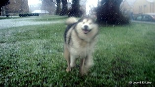 Happy malamute in snow (1)