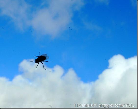 kärpänen pilven reunalla ötökkä 001