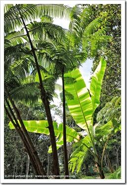 140805_Hawaii_BananaAeAe_015