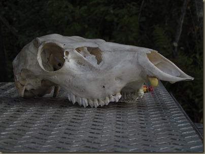 skull of female elk