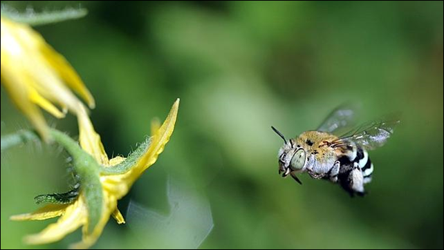 As the bee flies - natural pollination by native bees is seriously threatened as numbers dwindle. Feral bees have been all but wiped out in South Australia, putting the state's agricultural industry at risk. Photo: The Advertiser / supplied