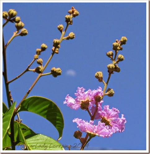 05-08-first-queen-crepe-blooms