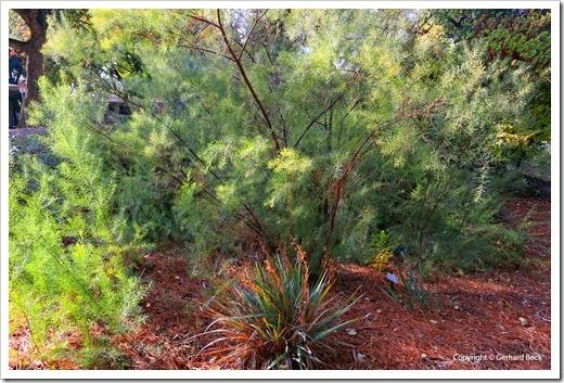 131124_UCD_Arboretum_AustralianCollection_Acacia-boormanii_02