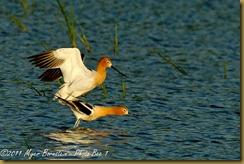 fl Avocet copulating_ROT3086 Bombay Hook  May 10, 2011 NIKON D3S
