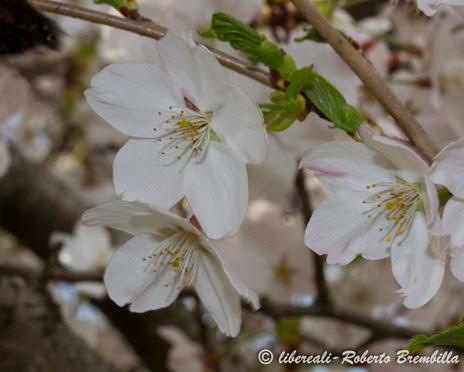 2014-03-21_Ciliegio giapponese_Lierna (40)