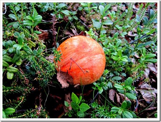 Ibland måste man även titta ner, en vackert marmorerad svamp.