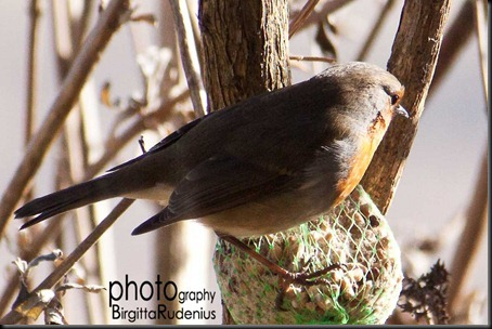 bird_20120311_robin1