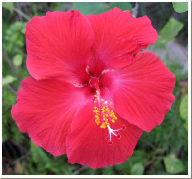 12-16-hibiscus3