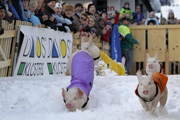 Pig Racing in Switzerland 04