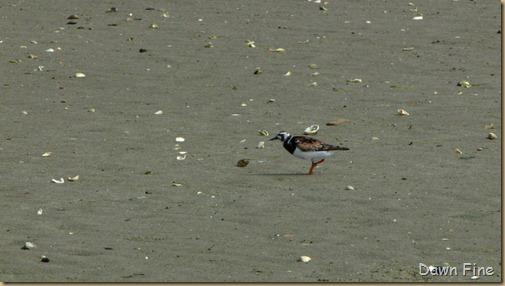 birding south beach_032