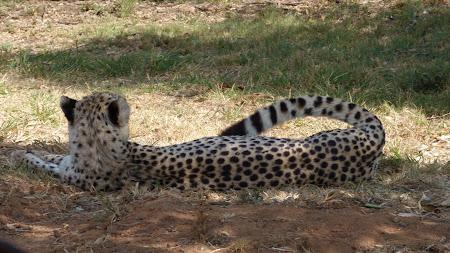 ghepard lenes in Johannesburg