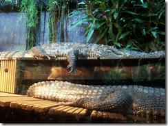 2012.08.05-036 crocodile