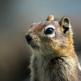 Golden mantled ground squirrel by Viktor Terlaky - Animals Other Mammals ( golden  mantled ground squirrel,  )