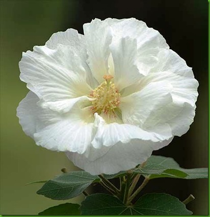 Hibiscus_mutabilis SIMPLE
