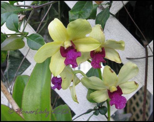 03-01-d-orchid