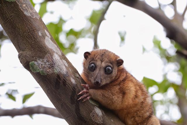 """Couscous"" : Phalangeridae (Marsupial). Halmahera (Moluques, Indonésie), 17 septembre 2013. Photo : Eko Harwanto"