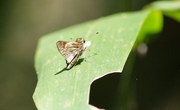 Hesperiidae : probablement Pompeius pompeius (LATREILLE, [1824]). Saül, 13 novembre 2012. Photo : J.-M. Gayman
