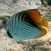 chetonik_pawik - Threadfin butterflyfish - Chaetodon auriga.jpg