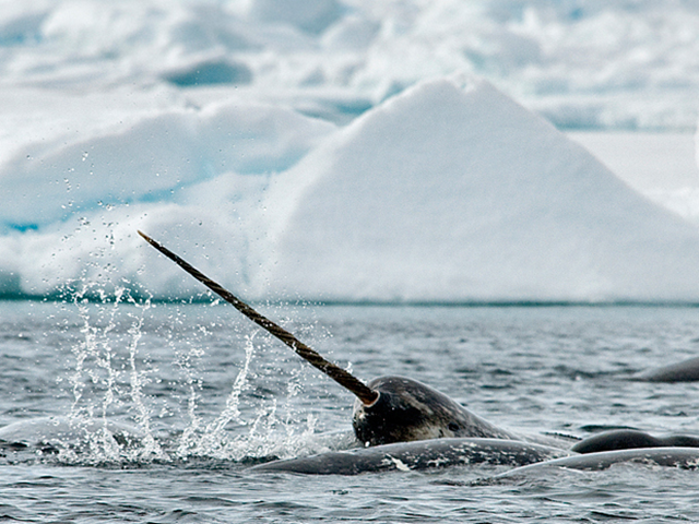 A narwhal is caught surfacing during a July 2011 expedition to a floe edge in the frigid waters of Arctic Bay, near Pond Inlet in Nunavut. Photo: Michelle Valberg / National Post