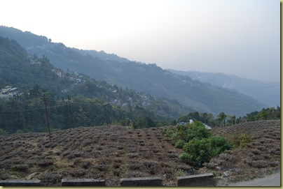 Tea Plantation-001