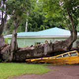 Hurricane + Tree + Bus = This...  No One Was Injured - Roseau, Dominica