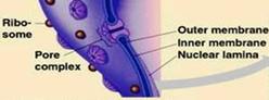 Nuclear membrane