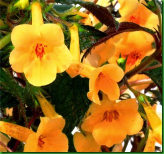 Achimenes Yellow Beauty 1