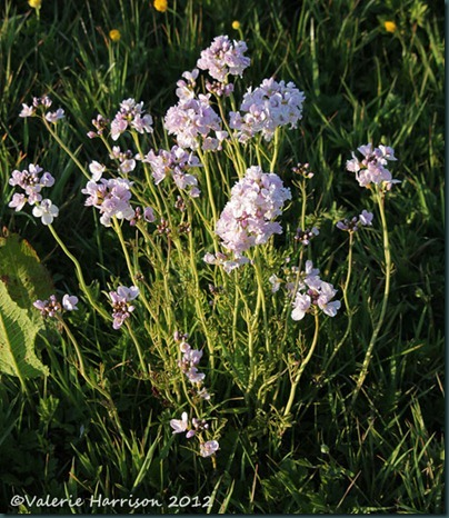 10-double-cuckoo-flower