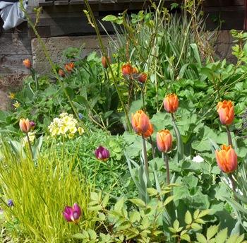 002 korr Tulipa Princess Irene Tulipa humilis Alopecurus pratensis Aureovariegatus Daniel Grankvist