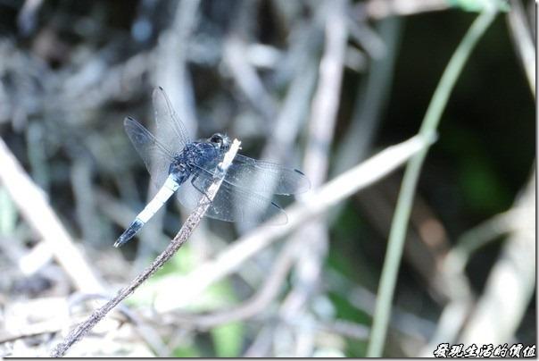 大板根森林溫泉渡假村。蜻蜓
