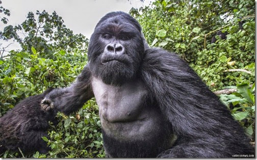 1_CATERS_GORILLA_PUNCH_03-800x498