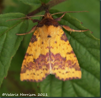 pink-barred-sallow-1