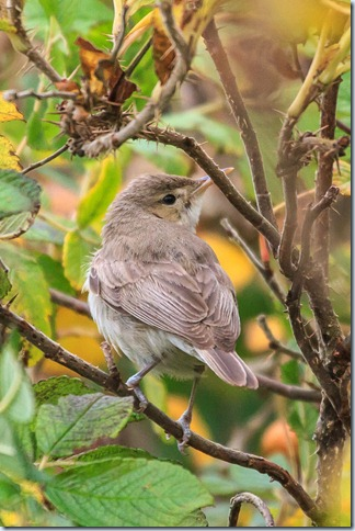 Kilminning_Eastern_Olivaceous_Warbler-4
