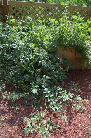 Wild Tomatoes Aug 8