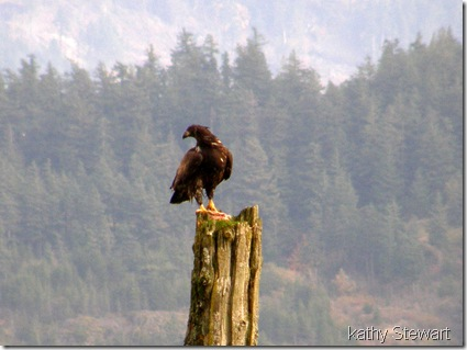 Juvenile Eagle on a post