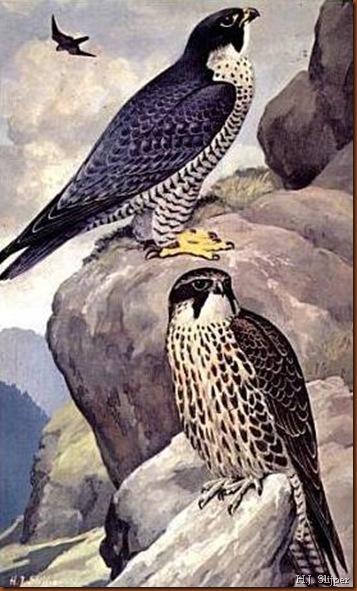 Faucon pèlerin. H.J. Slijper.