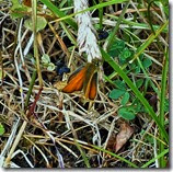 small skipper  Anglesey June 2014 (1)