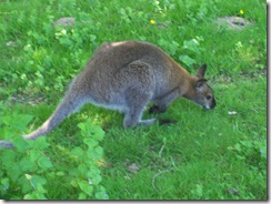 2012.06.02-012 wallaby