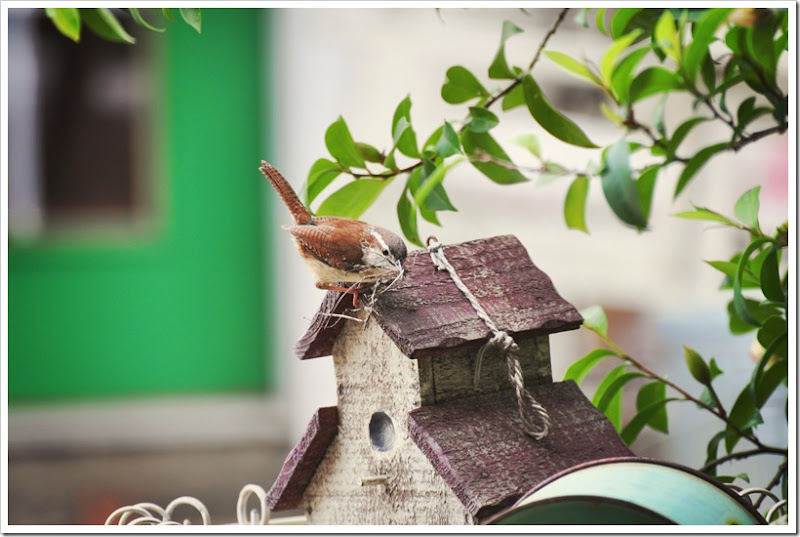 Wren nest building 023 allure