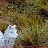 Lhama de olho azul - Parque Nacional Cajas - Cuenca - Equador