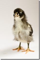 ChicksApr29-9087