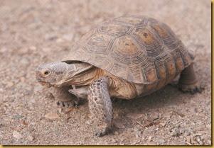 Tortoise (2)