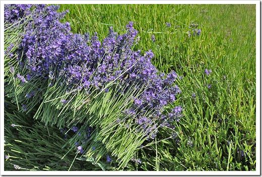 110710_Mt_Shasta_Lavender_Farm_44