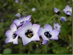 Gilia-tricolor