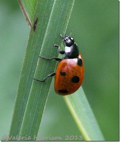 43-7-spot-ladybird