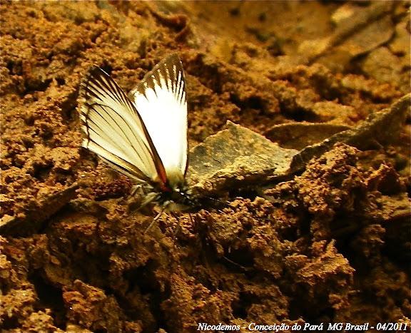 Heliopetes arsalte arsalte (LINNAEUS, 1758). Pitangui (MG, Brésil), 24 avril 2011. Photo : Nicodemos Rosa