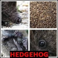 HEDGEHOG- Whats The Word Answers